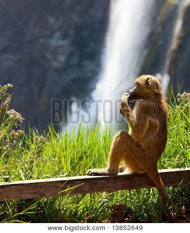 monkey on green grassland on Victoria waterfall background poster