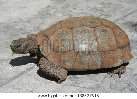 California brown desert tortoise with one eye towards the camera sitting outdoors on the pavement with small piece of lettuce stuck to his mouth and a smaller piece stuck to his nose