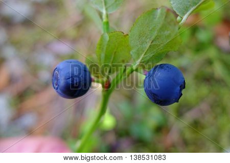 Berry blueberries on stalk in the forest. Wild edible berries. Blueberry to improve vision. Vitamins in natural form in nature. Picking berries in the summer. In medicine uses the berries and leaves.
