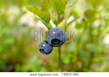 Blueberries drug  in the forest. Wild edible berries. Blueberry to improve vision. Vitamins in natural form in nature. Picking berries in the summer. In medicine uses the berries and leaves.