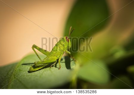 Side on macro photograph of a brightly coloured small green grasshopper with reddish brown eyes sitting on a green leaf and foliage