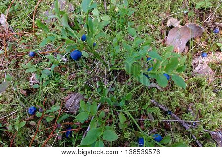 Bush berry blueberry drug on a branch in the forest. Vitamins in natural form in nature. Picking berries in the summer. In medicine uses the berries and leaves of bilberry.