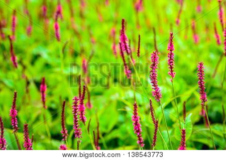 Closeup of some red budding Persicaria amplexicaulis or mountain fleece plants between blossoming on a sunny day in the summer season.
