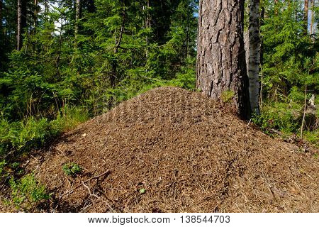 Big anthill in the forest. Woods ants builders. Colony red ants. Wildlife industrious insects.