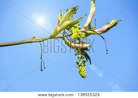 Leaf shoots in spring with sun and blue sky
