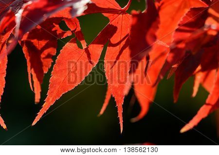 Cloes up from colorful red  autum foliage