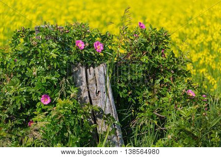 Wild roses on a fence post along a field of canola.