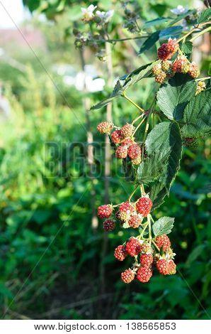The Bush Ripe Blackberries In The Garden