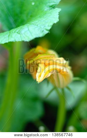 zucchini blossoms plants with blossom in garden