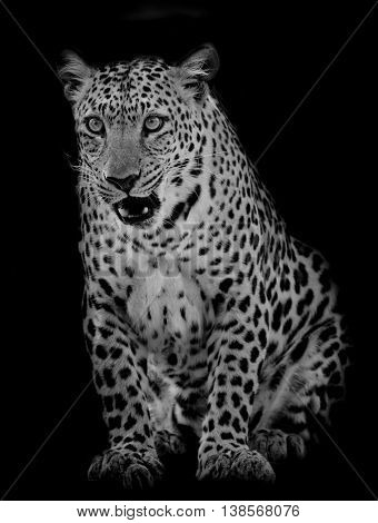 Closeup Leopard portrait animals wildlife on black color background