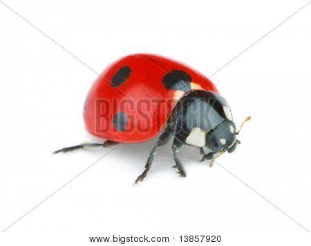 Ladybug on white background poster