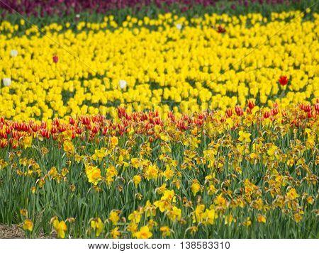 tulips near bergen an zee in holland poster
