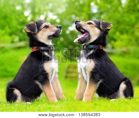 Two cute puppy crossbreed dogs in grass.
