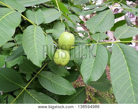 Immature fruits of walnut (Juglans regia) on branch