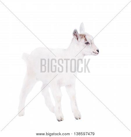 Little white goatling isolated on white background