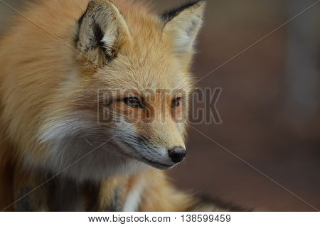 Gorgeous red fox in a crouch with a pointy nose.