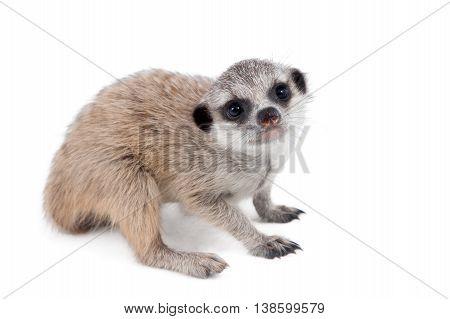 The meerkat or suricate cub, Suricata suricatta, isolated on white