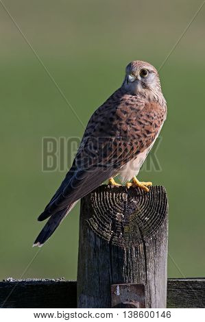 Kestrel (Falco Tinnunculus) perched on fence post