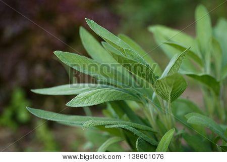 Sage - Salvia Officinalis. Herbs In The Garden