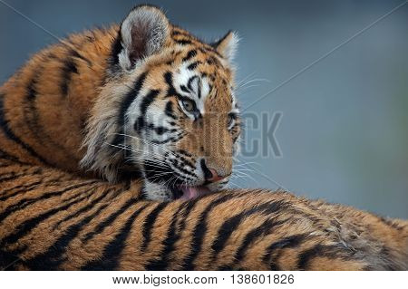Close up portrait of Siberian Tiger Cub(Panthera Tigris Altaica)