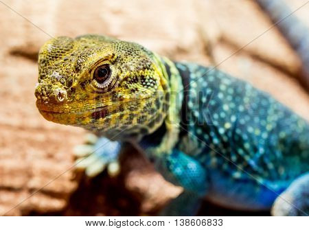 Head of Yellow-Blue Collared Lizard looking in the camera