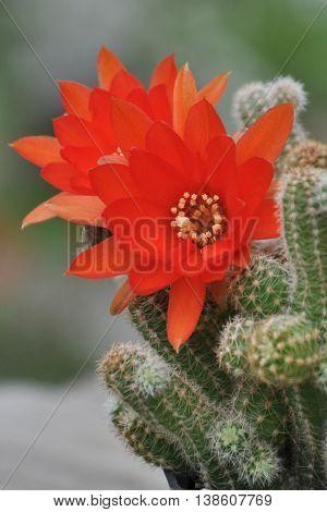 Orange cactus flower, chamaecereus silvestrii, Cactaceae, succulent