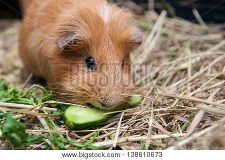 Cute red guinea pig eating cucumber. Close up.