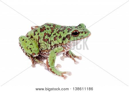 Japaneese forest green tree frog, Rhacophorus arboreus, on white isolated on white background