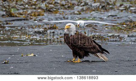 Gull harassing a bald eagle on the beach