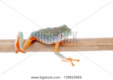 Tiger-legged monkey frogling, Phyllomedusa hypochondrialis, isolated on white background