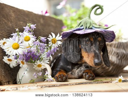 dachshund dog in yat
