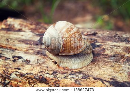 Snail on a tree in a forest. Lonely snail. Snail on a log