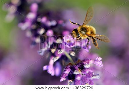 Honey Bee collecting pollen on a lavender branch