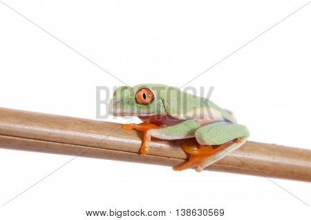 Red eyed tree frogling, Agalychnis callidrias, isolated on white background