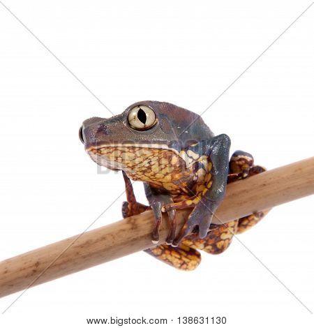 The Burmeister's leaf frog or Common walking leaf frog, Phyllomedusa burmeisteri, isolated on white background