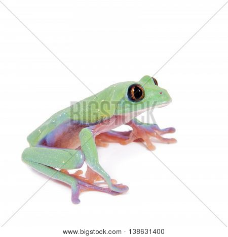 Beautiful blue-sided tree frog, agalychnis annae, isolated on white background