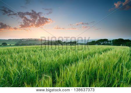 Summer Barley Field