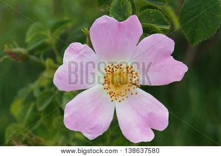 wild rose flower with pink petals and yellow pistils against the background of green leaves