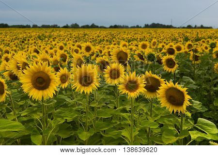 Field Of Sunflowers On A Summer Day