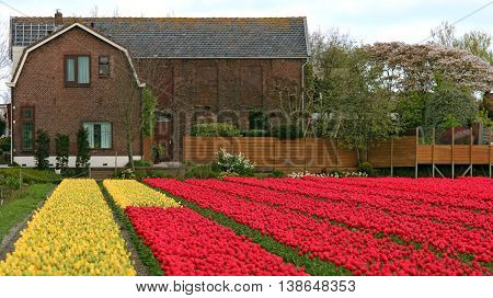 Tulip Fields Multicolored With A Dutch House. Colorful spring tulip farm with a farm house.