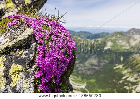 Silene acaulis is a small mountain-dwelling wildflower that is common all over the high arctic and tundra in the higher mountains.