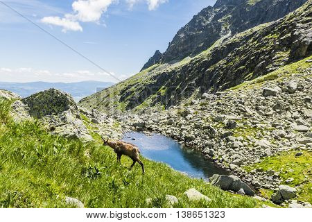 Tatra Chamois In The Valley.