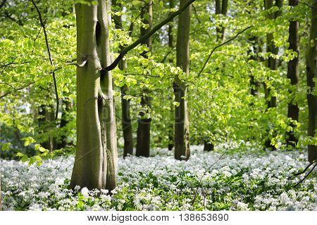 Forest and the blooming wild garlic (Allium ursinum) in Stochemhoeve Leiden the Netherlands