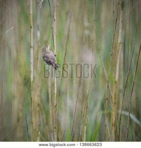 Beautiful Reed Warbler Bird Acrocephalus Scirpaceus On Reed