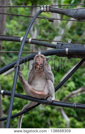 A Crab-eating macaque eating a fruit on an electrical cable Phetchaburi Thailand. Urbanization and ecology concept.