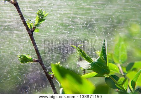 Spring rain. Spring leaves on trees. Rain on long exposure. Spring leaves and drops of a rain. Spring leaves on trees. Green leaves on trees under sun beams.