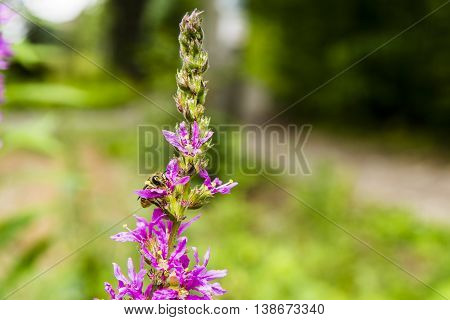 Insect collecting nectar from the flowers of the plant.