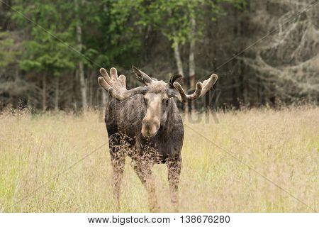 Bull Moose on grass field. Big male elk.