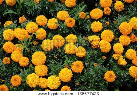 Yellow Marigold Flowers In Daytime