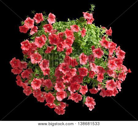 Hanging Pot With Red Althea Flowers Isolated On Black